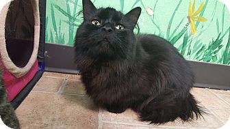 Domestic Longhair Cat for adoption in Cody, Wyoming - Slater