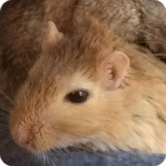 Gerbil for adoption in St. Paul, Minnesota - Lucy