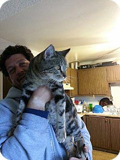 Bengal Cat for adoption in Vacaville, California - Caesar