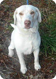 Labrador Retriever/Siberian Husky Mix Dog for adoption in Allentown, New Jersey - Golden Boy