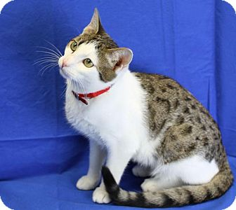 Bengal Cat for adoption in Winston-Salem, North Carolina - Holly