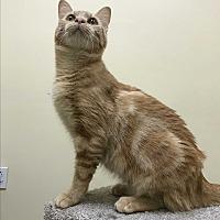 Adopt A Pet :: Tangeryan - Pasadena, CA