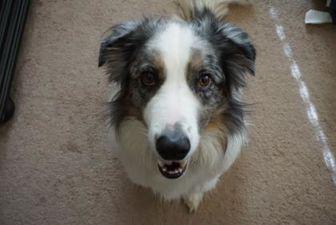 Border Collie Mix Dog for adoption in Bethany, Oklahoma - Captain