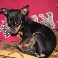 Adopt A Pet :: Cooper - Plano, TX