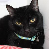 Domestic Shorthair/Domestic Shorthair Mix Cat for adoption in Grass Valley, California - Midnight