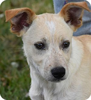 Australian Cattle Dog Mix Puppy for adoption in Texico, Illinois - Catfish - Adorable