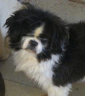 Pekingese Dog for adoption in Oakdale, Tennessee - Kane