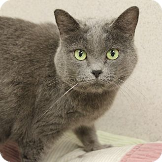Domestic Shorthair Cat for adoption in Naperville, Illinois - Kitty