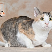 Domestic Shorthair Cat for adoption in Broadway, New Jersey - Ivy - $25 fee