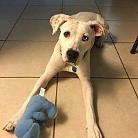 Adopt A Pet :: Luna--Florida - Fulton, MO
