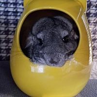 Adopt A Pet :: Gonzo - Lindenhurst, NY