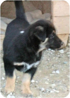 Collie Mix Puppy for adoption in Cold Lake, Alberta - Brittany