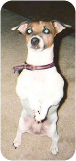 Jack Russell Terrier Dog for adoption in Thomasville, North Carolina - Abby