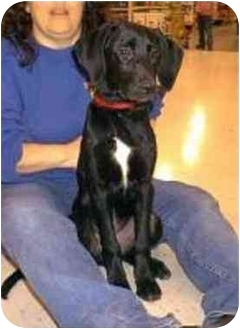 Retriever (Unknown Type) Mix Puppy for adoption in Oxford, Michigan - Jake