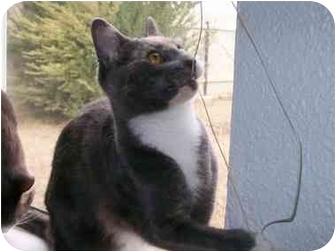 Domestic Shorthair Kitten for adoption in Elverta, California - Olympia