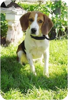 Beagle Mix Dog for adoption in Honesdale, Pennsylvania - Molly Brown