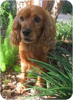 Cocker Spaniel Mix Dog for adoption in Sugarland, Texas - Bryce