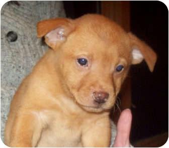 Labrador Retriever/German Shepherd Dog Mix Puppy for adoption in Southport, North Carolina - RATCHET