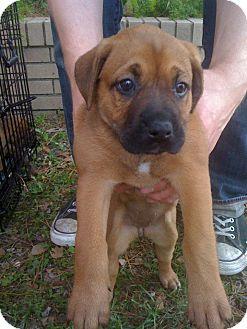 Boxer/Terrier (Unknown Type, Medium) Mix Puppy for adoption in Jesup, Georgia - Twix