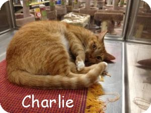 Domestic Shorthair Cat for adoption in East Stroudsburg, Pennsylvania - Charlie