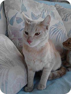 Domestic Shorthair Cat for adoption in Daytona Beach, Florida - John