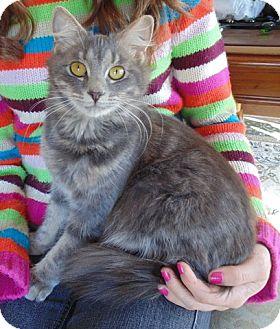 Persian Kitten for adoption in Huntsville, Alabama - Persia