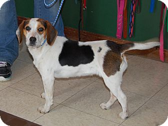 Beagle Dog for adoption in North Judson, Indiana - Koko