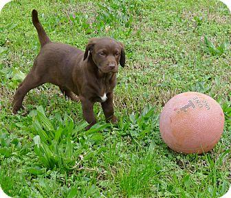Labrador Retriever/Golden Retriever Mix Puppy for adoption in Sacramento, California - Sweet Belle mellow and fun