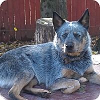 Adopt A Pet :: ACD Napoleon is Deaf - Remus, MI