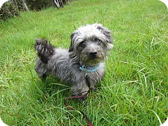 Terrier (Unknown Type, Small) Mix Dog for adoption in Tillamook, Oregon - Scruff