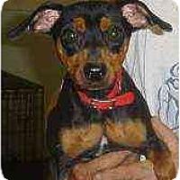 Adopt A Pet :: Pepper - Florissant, MO