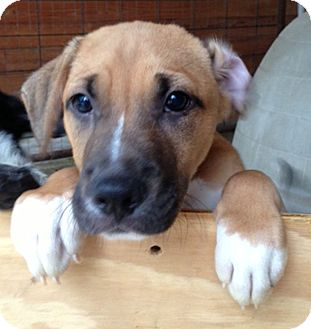 German Shepherd Dog Mix Puppy for adoption in Preston, Connecticut - Meshach