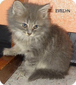 Domestic Mediumhair Kitten for adoption in Lapeer, Michigan - EVELYN-FLUFFY GREY KITTY!