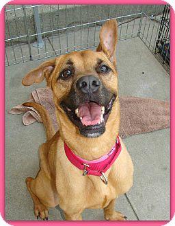 Boxer/Shepherd (Unknown Type) Mix Dog for adoption in Marietta, Georgia - BRITT (R)
