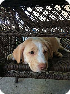 Hound (Unknown Type)/Labrador Retriever Mix Puppy for adoption in Lima, Pennsylvania - Denver