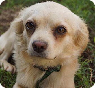 Pekingese/Pomeranian Mix Dog for adoption in Newark, Delaware - Juliet