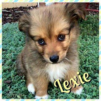 Sheltie, Shetland Sheepdog/Dachshund Mix Puppy for adoption in Newnan, Georgia - Lexie
