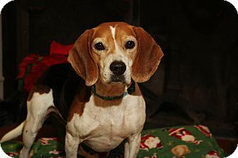 Beagle/Hound (Unknown Type) Mix Dog for adoption in Sylva, North Carolina - Shiloh