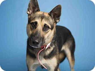 German Shepherd Dog Mix Dog for adoption in Litchfield Park, Arizona - ON EUTHANASIA LIST - Only $25