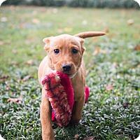 Adopt A Pet :: Reese (Candy Pup) - Cumming, GA