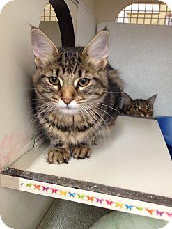 Domestic Mediumhair Cat for adoption in Warren, Michigan - Lanette