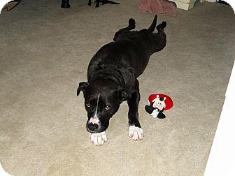 Labrador Retriever/Boxer Mix Dog for adoption in Rochester, Minnesota - Little Girl (Lillie)