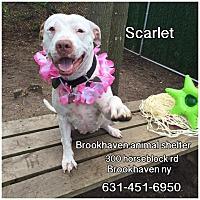 Adopt A Pet :: Scarlett - Brookhaven, NY