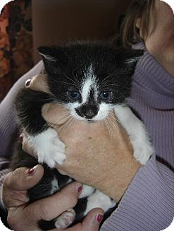 Domestic Shorthair Cat for adoption in Island Heights, New Jersey - 2 male kittens