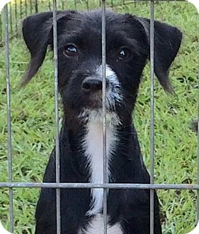 Terrier (Unknown Type, Small) Mix Puppy for adoption in Cairo, Georgia - Sodapop