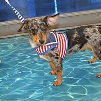 Dachshund/Chihuahua Mix Dog for adoption in Lodi, California - Fin