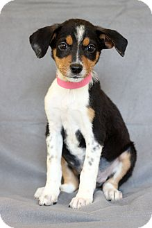 Australian Shepherd Mix Puppy for adoption in Waldorf, Maryland - Brie