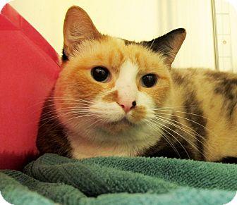 Domestic Shorthair Cat for adoption in Eastsound, Washington - Amelia