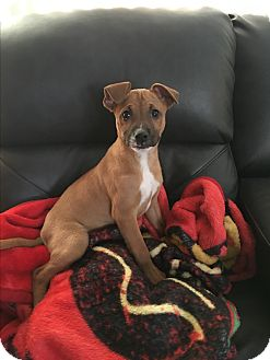 Boxer Mix Puppy for adoption in Hainesville, Illinois - Pacquiao