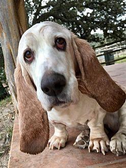 Basset Hound Dog for adoption in Houston, Texas - Noodle